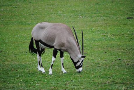 (5) L'oryx.