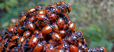 Des coccinelles à profusion | Steve Jurvetson via Flickr CC License by