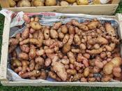 Pommes terre cageot récolte surprise....1ére partie