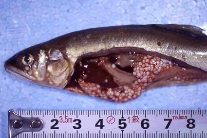 Poisson infecté par Glugea