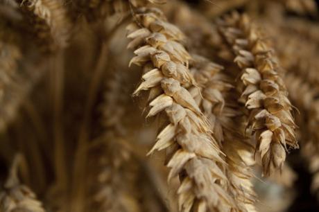 blé champs de blé