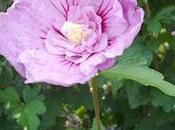 arbustes pour climat continental méditerranéen fleurs