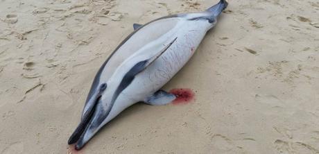 L'un des nombreux marsouins communs échoués sur les plages françaises, récemment. © Crédit LaTeste / PM