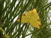 Papillon jaune citron avec taches rouille...