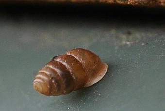 mini-escargot-deplace-avec-coquille-dres