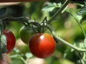 tomate bouillon