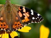 Papillon Vulcain...