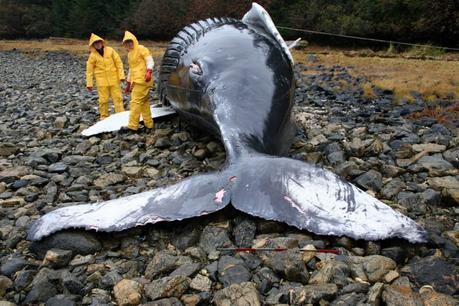 Sous les mers, la cacophonie humaine assomme les cétacés