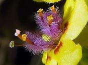 Molène noire (Verbascum nigrum)