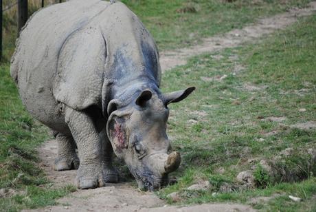 1 - Rhinocéros indien.