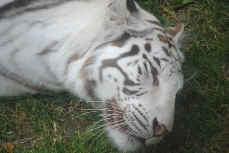 5 - Tigre blanc.