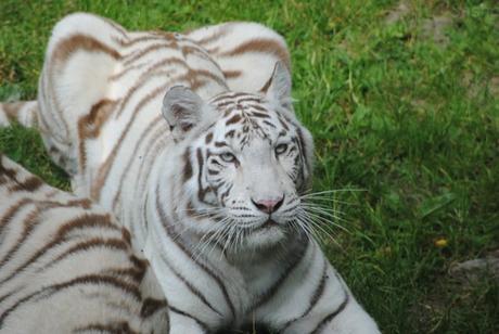 2 - Tigre blanc.