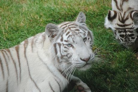 3 - Tigre blanc.