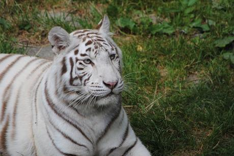 8 - Tigre blanc.