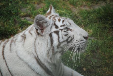1 - Tigre blanc.