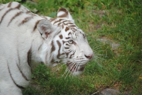4 - Tigre blanc.