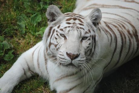 Tigre Blanc du Bengale - Emblème du CERZA, mutation génétique naturelle.