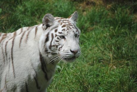 7 - Tigre blanc.