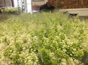 culture lilas pour fleurs coupées