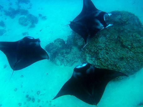 Nager avec les raies manta