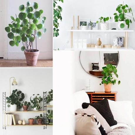 IT Plants: LE PILEA