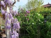magnifique plante grimpante, Glycine