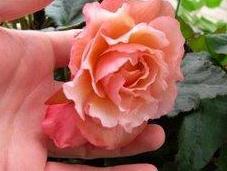 bégonia sent rose