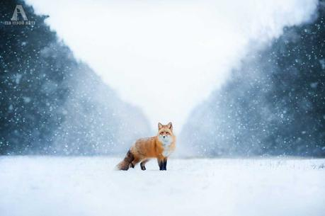 Freya the Fox – Iza Lyson