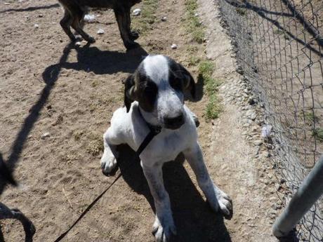 P. Owie chiot Mastin d' Espagne agé de 4 mois et demià adopter à l'association sos chiens galgos