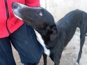 Boyer chien lévrier galgo robe noire l'adoption chez chiens galgos