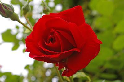 Automatique : Ma rose