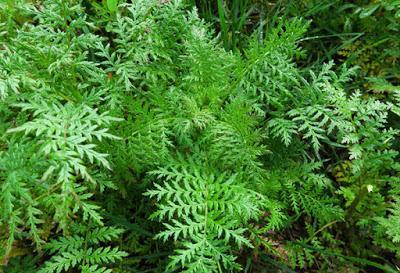 Phacélie à feuilles de tanaisie (Phacelia tanacetifolia)