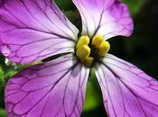 Radis fourrager (Raphanus sativus)