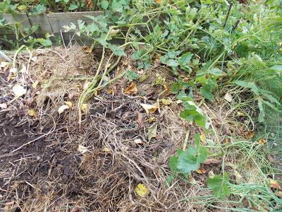 Récolte des dernières pommes de terre