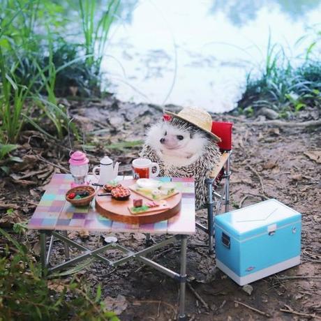La vie d'Azuki, le célèbre hérisson japonais