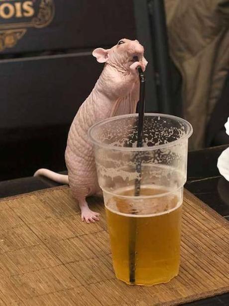 bière et rat
