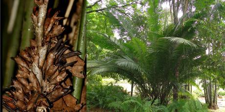 palmier de Bertam