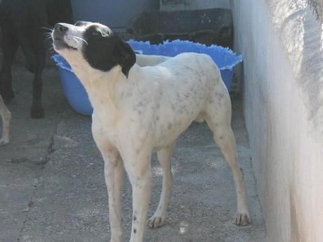 P. Roll est un petit croisé Bodeguero de 3 ans qui est à adopter sous contrat associatif sos chiens galgos