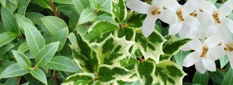 Olivier de Chine osmanthus burkiwoodii et o. heterophyllus_1
