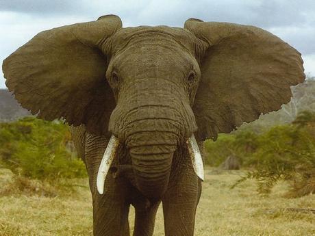 Les oreilles d'un éléphant