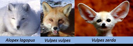 Différentes espèces de renards