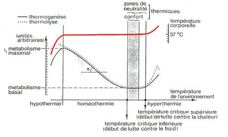 Thermorégulation chez les endothermes