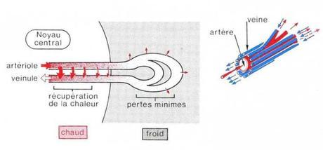 Système d'échange de chaleur à contre-courant dans des appendices
