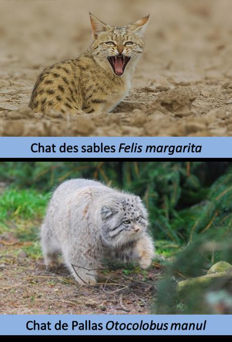 Comparaison du pelage d'un chat des sables avec celui du chat de Pallas