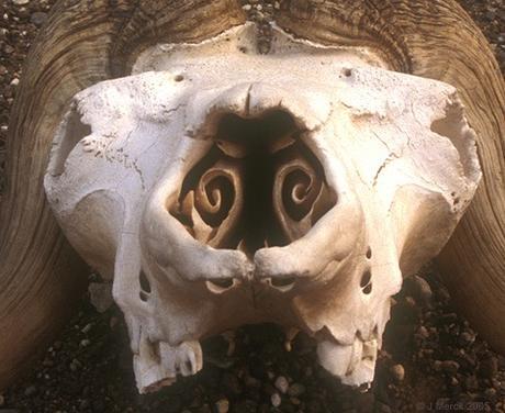 Cornet nasaux de bélier