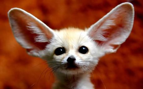 Les oreilles du Fennec