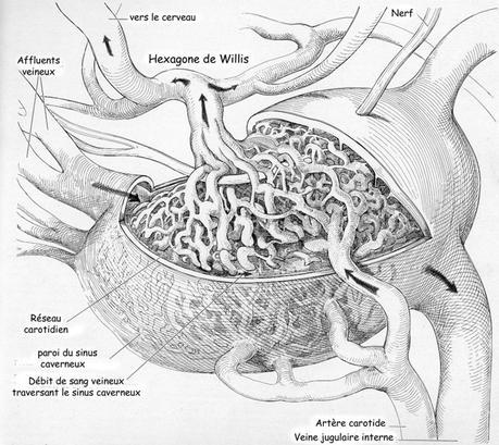 Rete mirabile dans sinus caverneux
