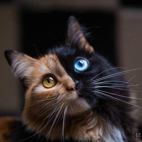Quimera, le chat «double-face» aussi rare que magnifique
