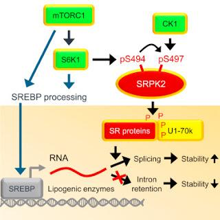 #cell #lipogenèsedenovo #régulationposttranscriptionnelle Régulation post-transcriptionnelle de la Lipogenèse De Novo par la Signalisation mTORC1-S6K1-SRPK2