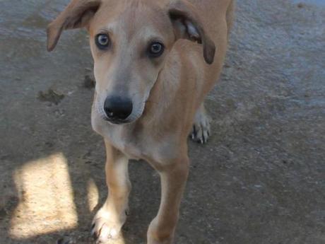 P. Lars un petit levrier galguito de trois mois et demi  couleur sable à adopter à l'association sos chiens galgos